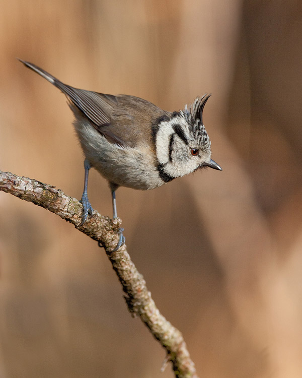 Kuifmees – Crested Tit