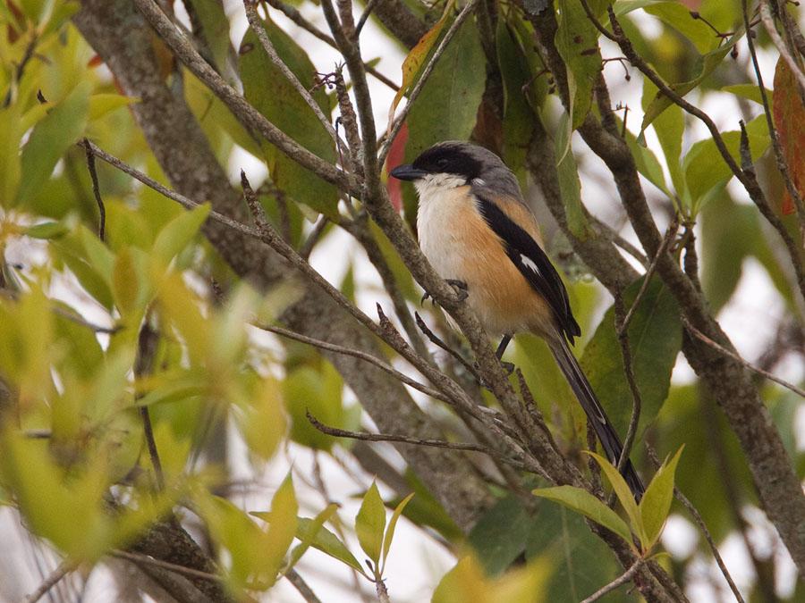 Langstaartklauwier – Long-tailed Shrike