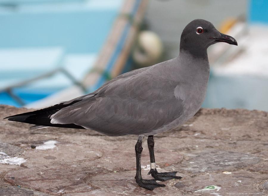 Lavameeuw – Lava Gull