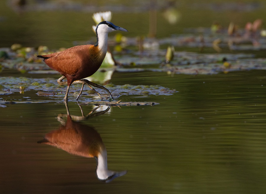Lelieloper – African Jacana