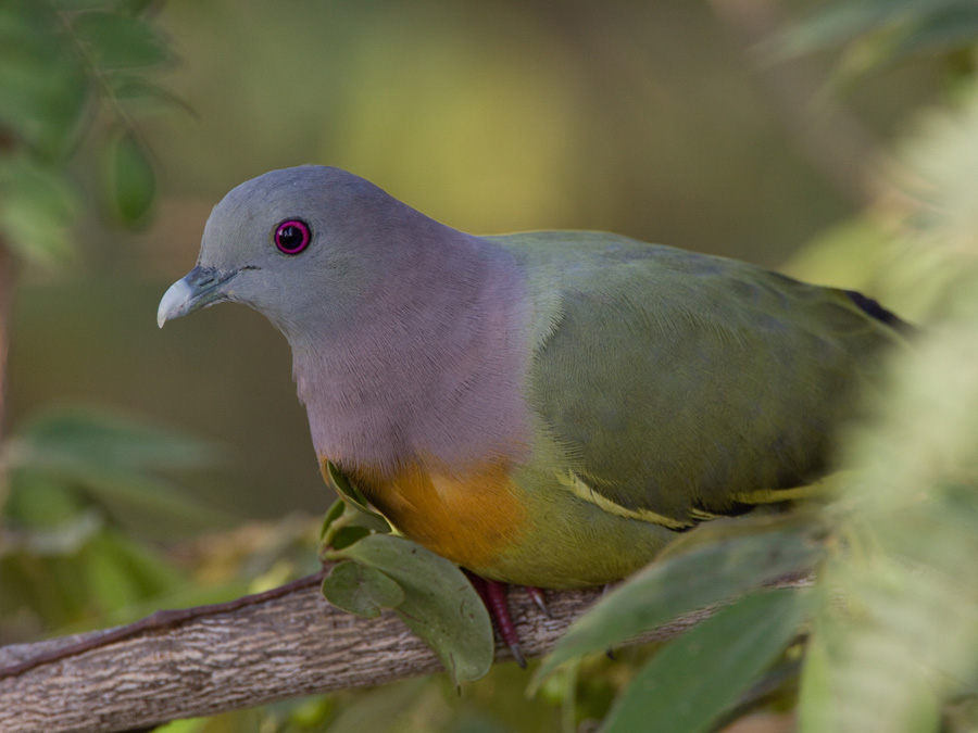 Maleise papegaaiduif – Pink-necked Green Pigeon