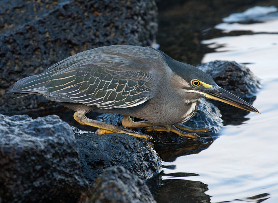 Mangrovereiger – Straited Heron
