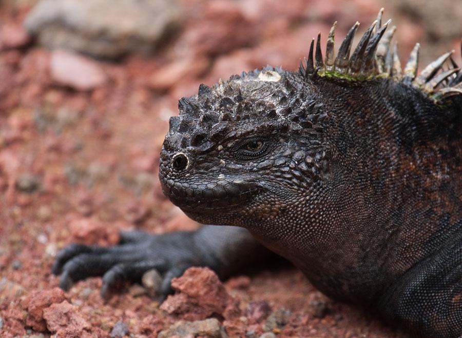 Galapagos zeeleguaan – Marine Iguana