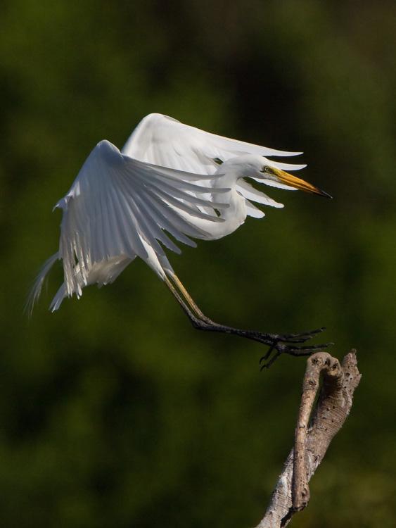 Middelste zilverreiger – Intermediate Egret