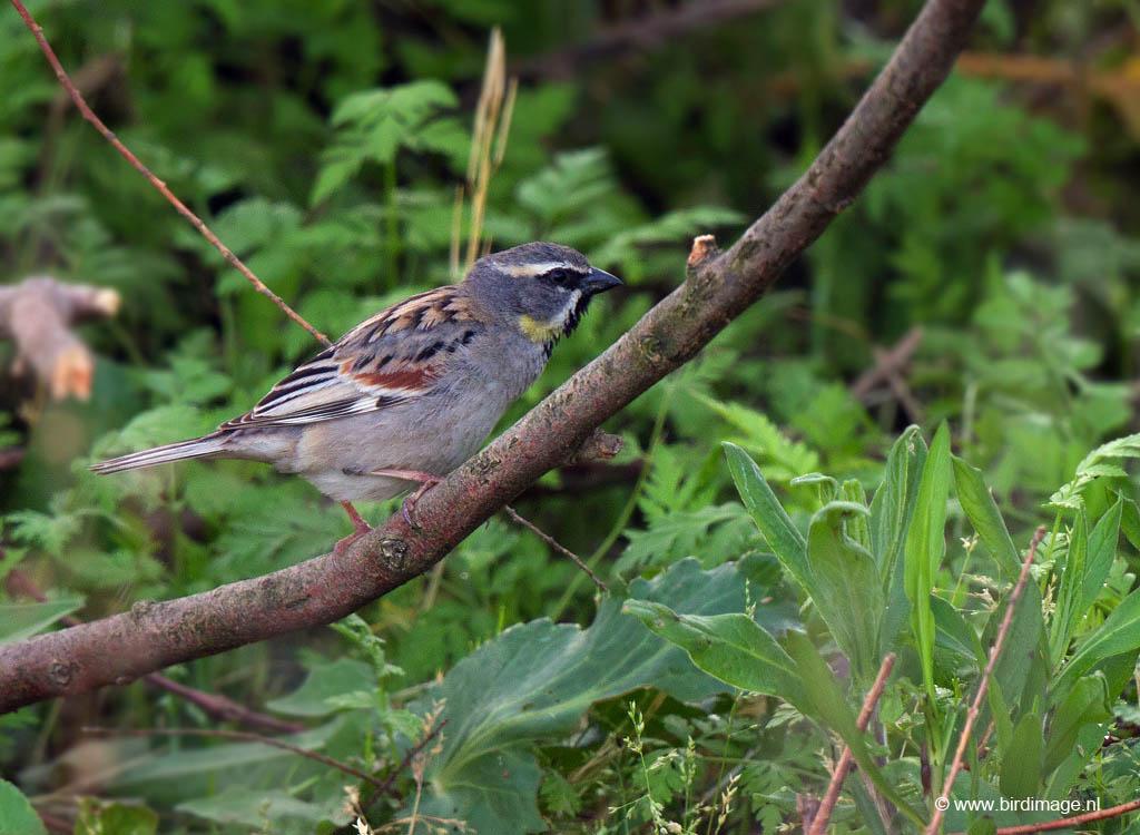 Moabmus – Dead Sea Sparrow