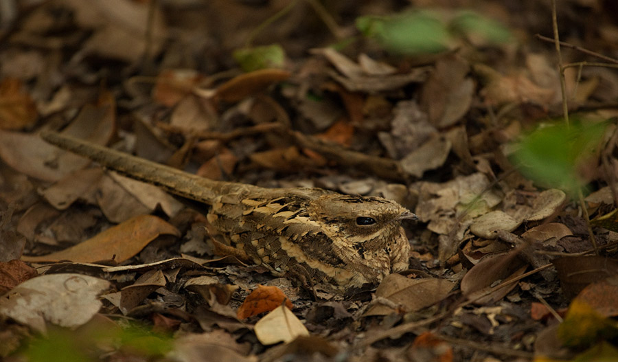 Mozambikaanse nachtzwaluw – Long-tailed Nightjar
