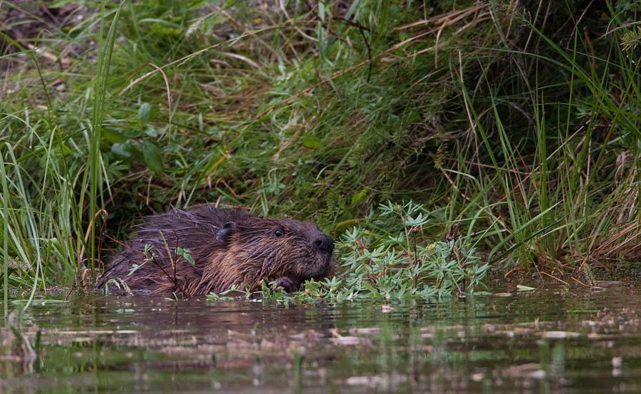 Noord Amerikaanse Bever – North American Beaver