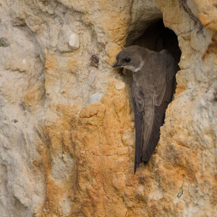 Oeverzwaluw – Sand Martin