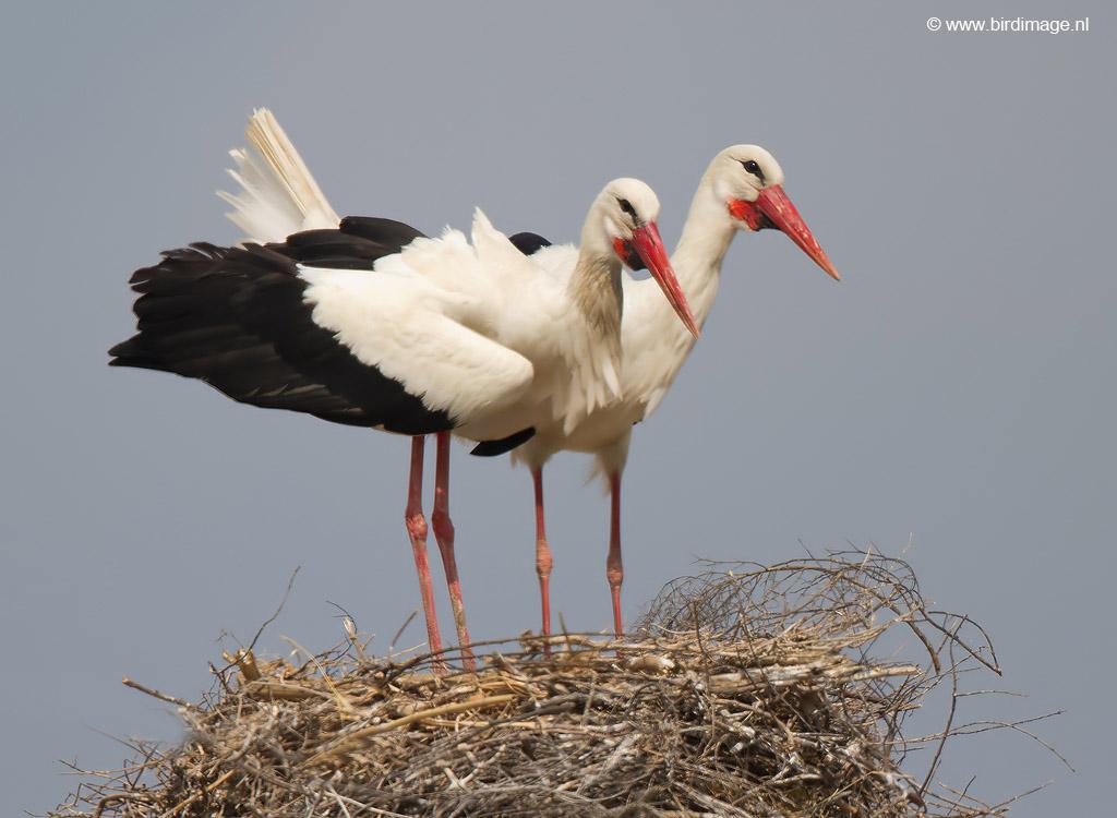 Ooievaar – White Stork
