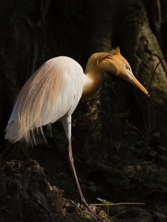 Oostelijke koereiger – Eastern Cattle Egret