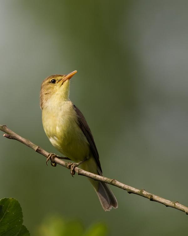 Orpheuspotvogel – Melodious Warbler