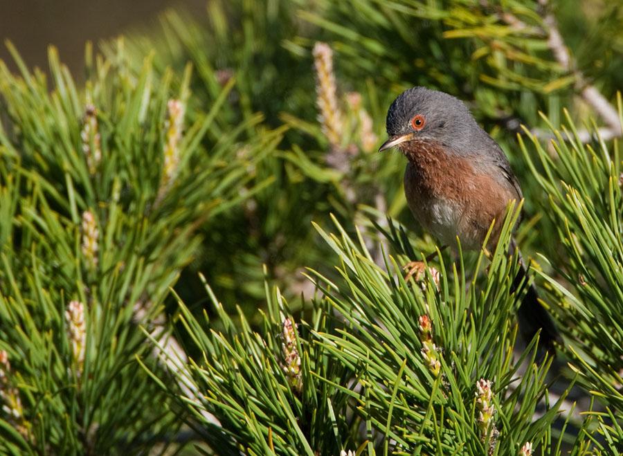 Provencaalse grasmus – Dartford Warbler