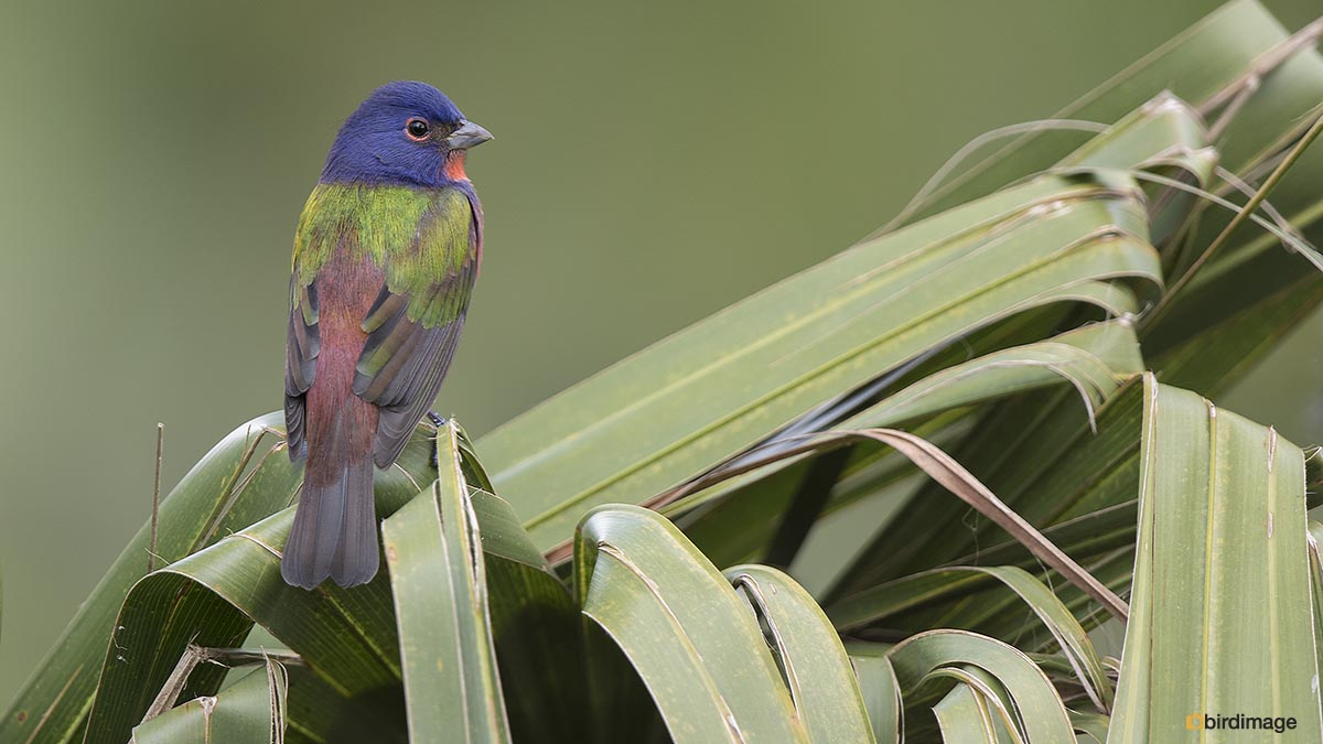 Purpergors – Painted Bunting