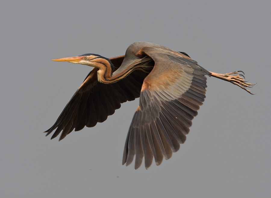 Purperreiger – Purple Heron