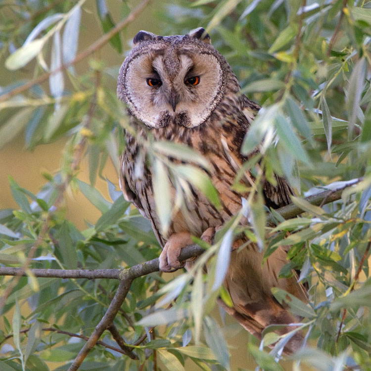 Ransuil – Long Eared Owl