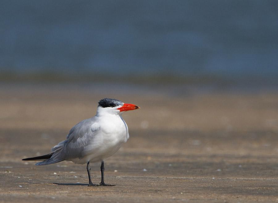 Reuzenstern – Caspian Tern