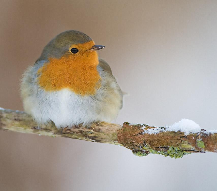 Roodborst – Robin