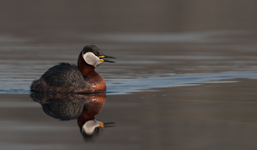 Roodhalsfuut – Red-necked Grebe