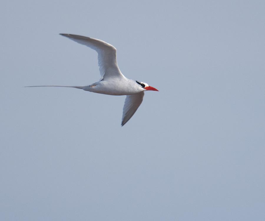 Roodsnavelkeerkringvogel – Redbilled Tropicbird