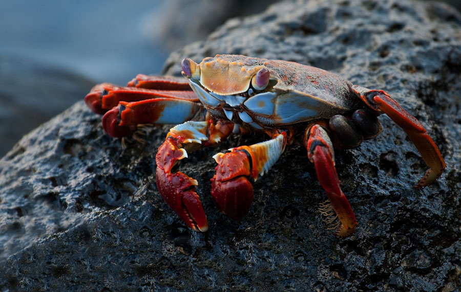 Sally Lightfoot Crab – Grapsus grapsus
