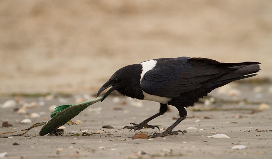 Schildraaf – Pied Crow