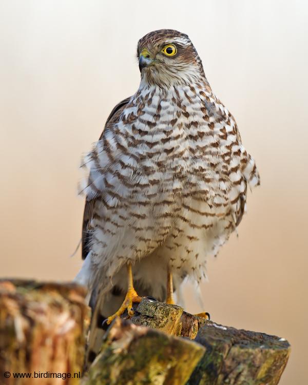 Sperwer – Eurasian Sparrowhawk