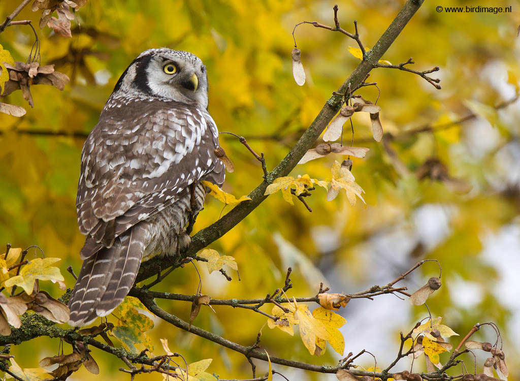 Sperweruil – Northern Hawk-Owl