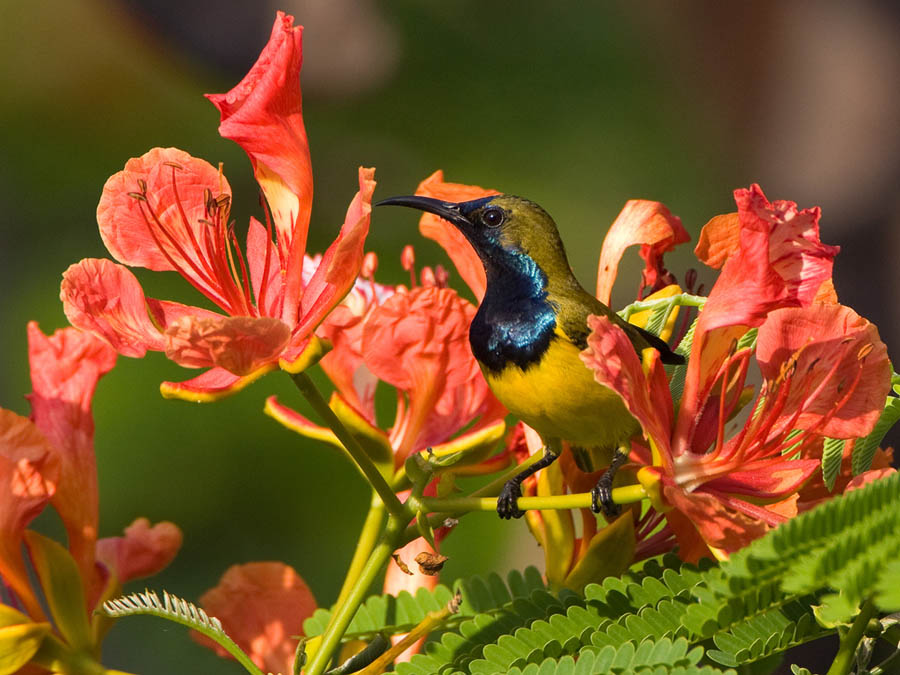 Staalborsthoningzuiger – Olive-backed Sunbird