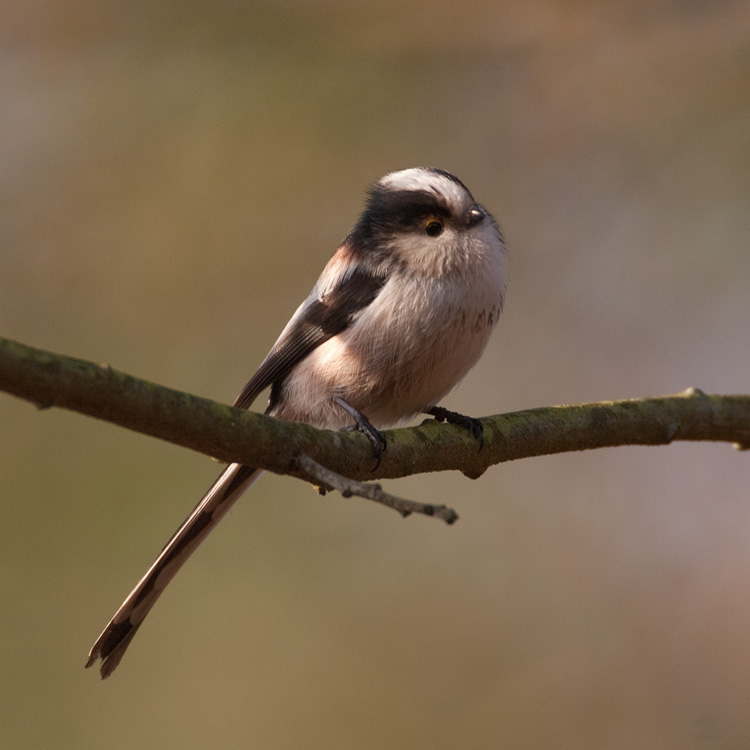 Staartmees – Long-tailed Tit