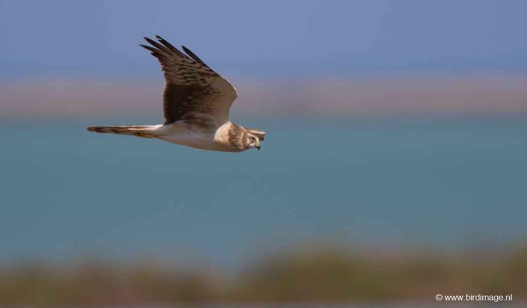 Steppekiekendief – Pallid Harrier