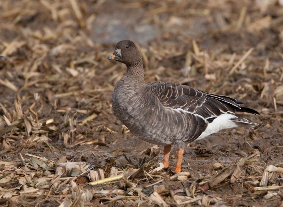 Toendra rietgans – Tundra Bean Goose