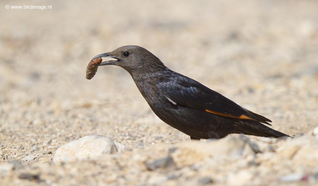 Tristrams Spreeuw – Tristram's Starling