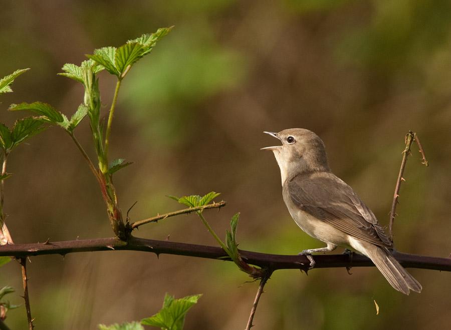 Tuinfluiter – Garden Warbler