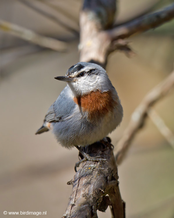 Turkse boomklever – Krupers Nuthatch