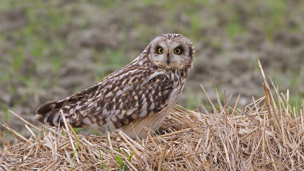 Velduil – Short-eared Owl