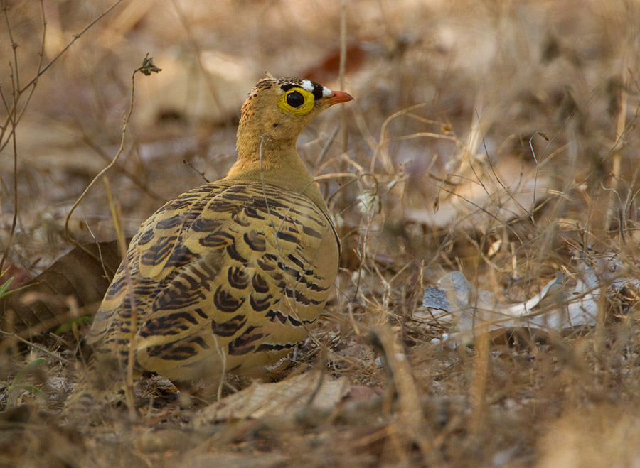 Vierbandzandhoen – Four-banded Sandgrouse