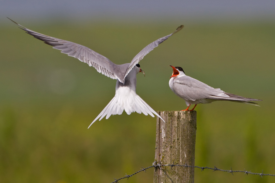 Visdief – Common Tern