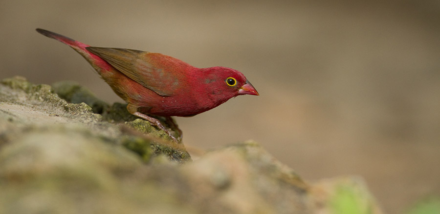 Vuurvink – Red-billed Firefinch