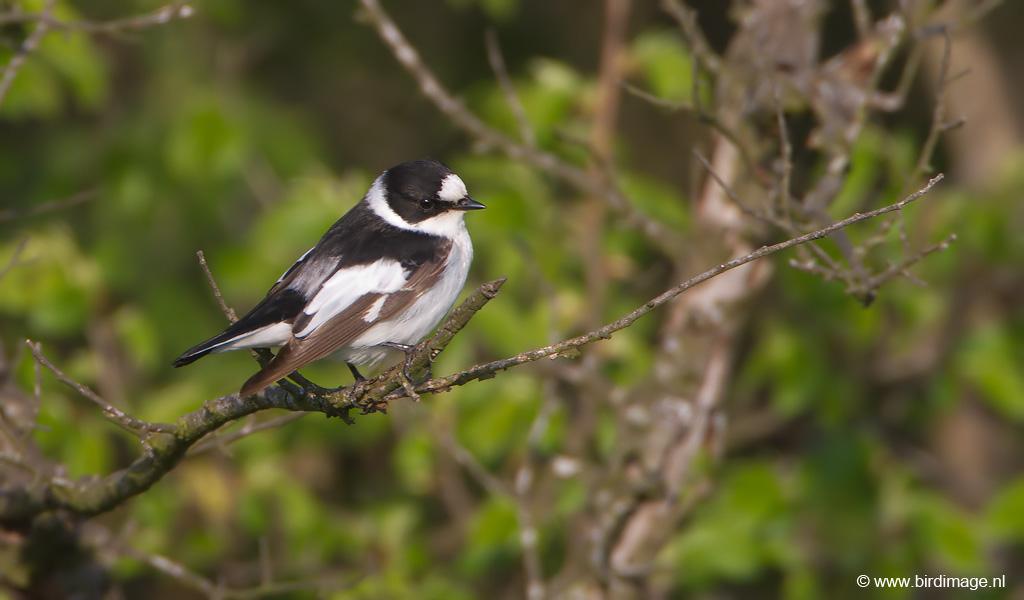 Withalsvliegenvanger – Collared Flycatcher