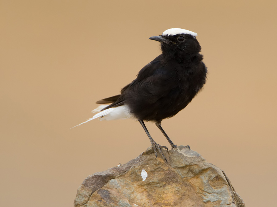 Witkruintapuit – White-crowned Black Wheatear