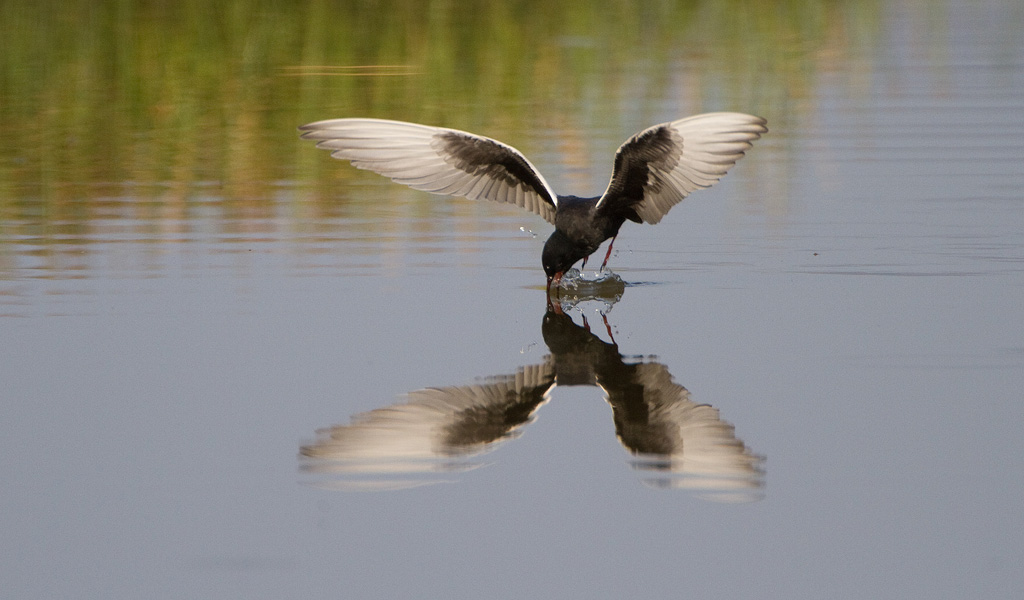 Witvleugelstern – White-winged Tern