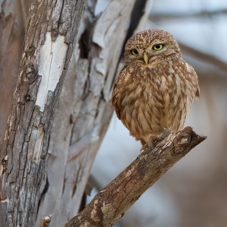 Woestijnsteenuil – Desert Little Owl