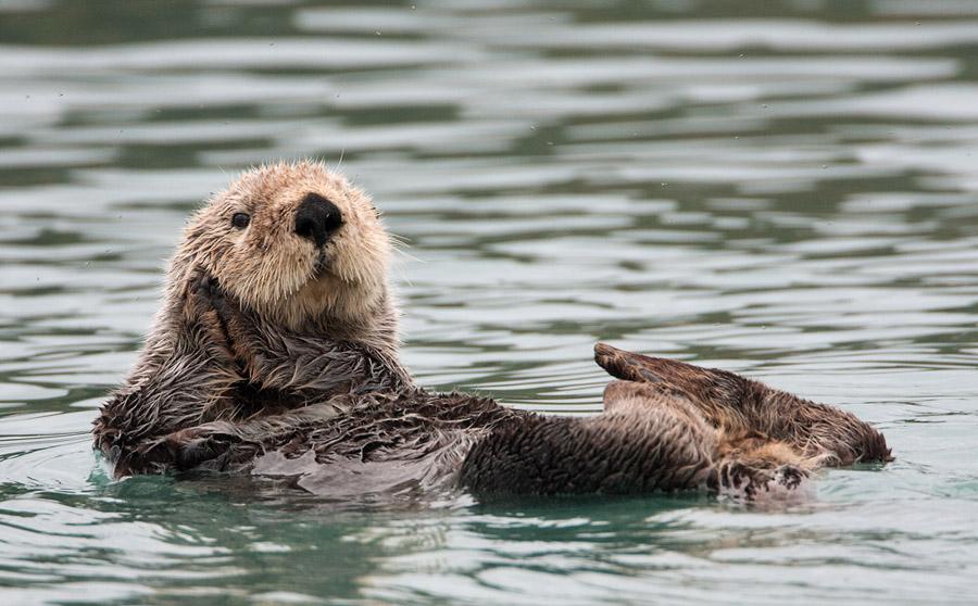 Zeeotter – Sea Otter