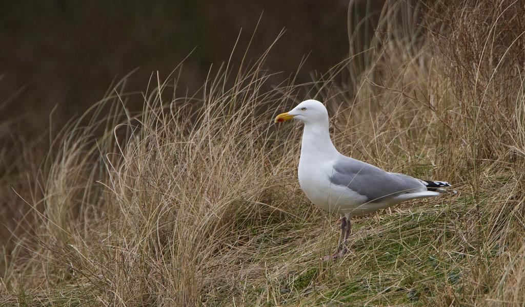 Zilvermeeuw – European Herring Gull