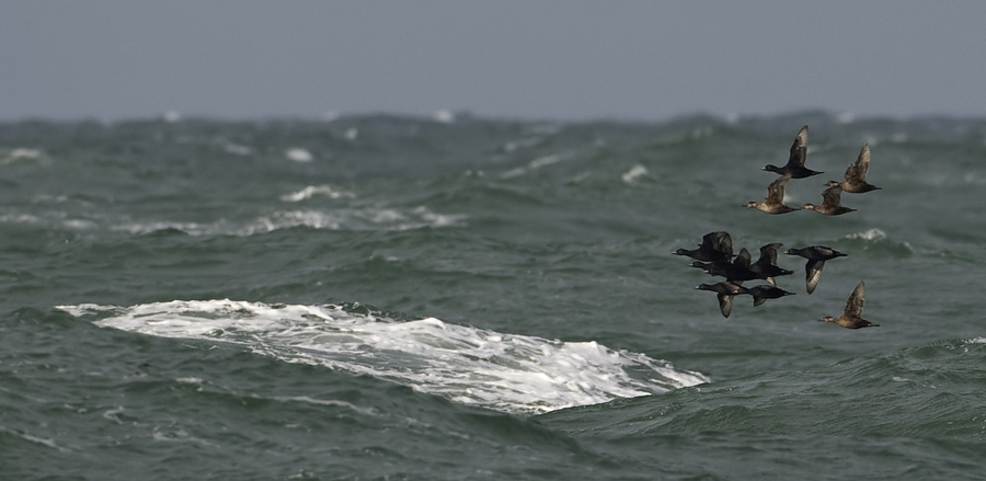 Zwarte zee-eend – Common Scoter