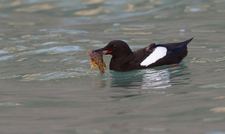 Zwarte zeekoet – Black Guillemot