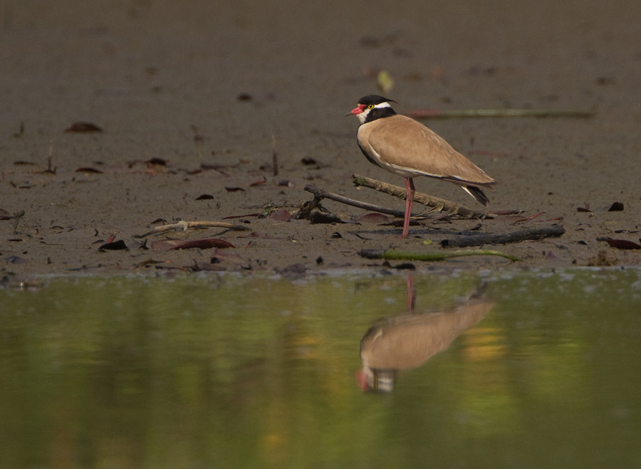 Zwartkopkievit – Black-headed Plover
